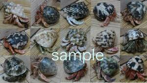 Okaya Dokari red system @ Enjoyable + Size! Three sets (with shellfish) (ST2)