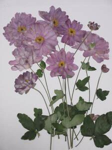 засушенный цветок материалы 3689shuumeigik(. -слойный )