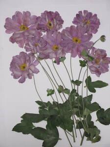 засушенный цветок материалы 3690shuumeigik(. -слойный )