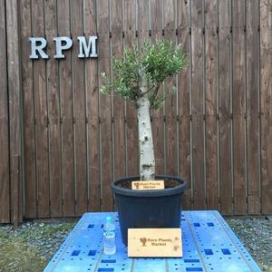 YSK4 スペイン産 オリーブの木 観葉植物 鉢植え 地植え 福岡販売