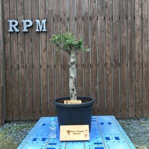 YSK6 スペイン産 オリーブの木 観葉植物 鉢植え 地植え 福岡販売