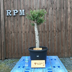 YSK8 スペイン産 オリーブの木 観葉植物 鉢植え 地植え 福岡販売