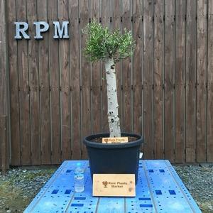 YSK10 スペイン産 オリーブの木 観葉植物 鉢植え 地植え 福岡販売