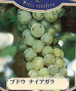 ナイアガラ 葡萄苗木