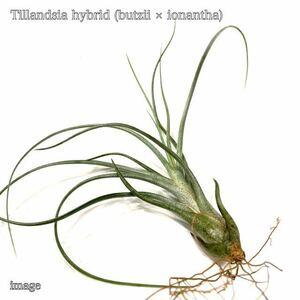 チランジア 交配種(ブッツィー × イオナンタ) S size (エアープランツ ティランジア hybrid butzii × ionantha)