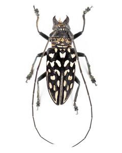 S. maculata 05 カミキリ標本 マダガスカル