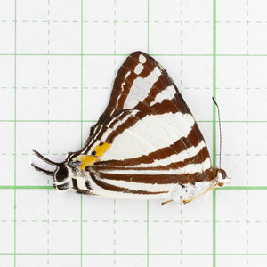 D. deodata ssp. 02 標本 スマトラ島