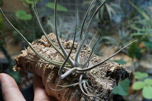 メキシコ緑花 Tillandsia lepidosepala チランジア レピドセパラ
