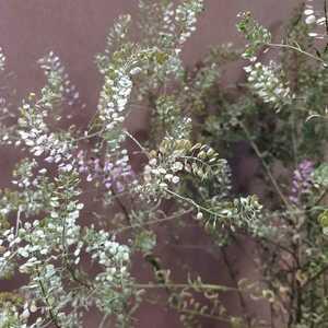 マメグンバイナズナ 種 200粒以上 アブラナ科 ドライフラワー スワッグ リース アレンジ 山野草