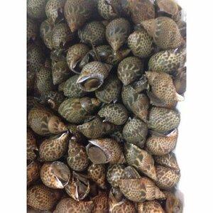 黒バイ貝 約3kg 殻付き