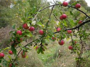 ★ リンゴ 種子 ( 3 種子 ) APPLE SEEDS ★