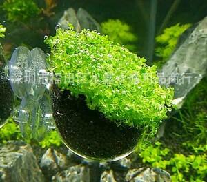 水槽鉢 水草ポット ガラスポット アクアリウム 熱帯魚 カップ 送料無料