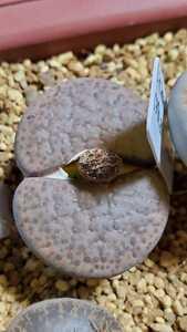 リトープス フルビセプス PV130 種子15粒