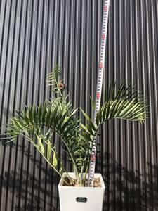 エンセファラルトス ロンギフォリアス Encephalartos