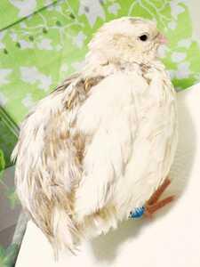 色変わり並ウズラの種卵16個 並うずら 並鶉 日本ウズラ 日本うずら 日本鶉 有精卵