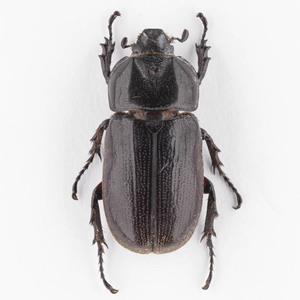 C. armatus 01 ツヤヒラズツツサイカブト標本 スラウェシ島