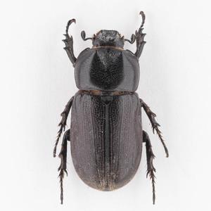 C. armatus 02B ツヤヒラズツツサイカブト標本 スラウェシ島