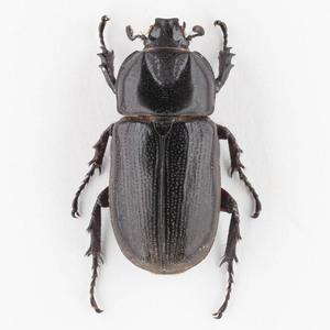 C. armatus 09B ツヤヒラズツツサイカブト標本 スラウェシ島