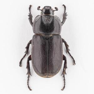C. armatus 13 ツヤヒラズツツサイカブト標本 スラウェシ島