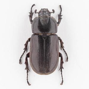 C. armatus 14 ツヤヒラズツツサイカブト標本 スラウェシ島