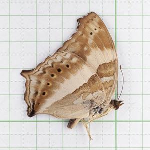 Y. sabina 06 スラウェシ島 キオビコノハ標本