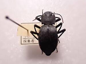 ●●Tenebrionidae Gen.sp.1ex. パキスタン2●●外国産 外国産甲虫 国産 外国 蟲 昆虫 甲虫 虫 標本 ゴミムシ ゴミムシダマシ オサムシ