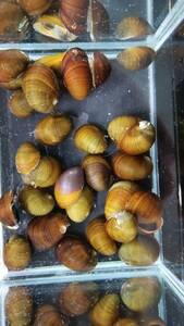即決 10匹 カバクチカノコ貝 約1.5~2cm前後 ※九州地方、沖縄県、北海道には発送出来ません※