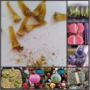 ★ 20 粒1セット 多肉植物 ミックス リトプス ( MIX LITHOPS ) リトプス リビング ストーンズ 植物 ★