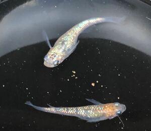 【種水3点付き】東北越冬いろいろ純血めだか有精卵50個+α (グリーンウォーター、ミジンコ、ゾウリムシ)