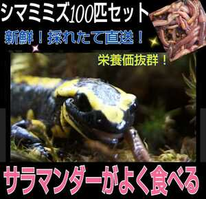 To the food of Salamander! fresh! It is picked up and direct delivery! Sima Mimizu 100 pieces ☆ I eat well! Nutrition! Reptile bait, turtle feed, soyal fish feed, fishing food