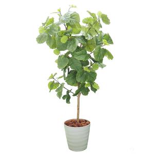新品 観葉植物 ウンベラーダ 160cm前後