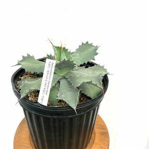 (現品) アガベ ポタトルム 'キャメロンブルー' (No.61592) (多肉植物 Agave potatorum 'Cameron Blue')