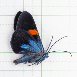 M.stueningi 19 キラキラな蛾標本 ジャワ島