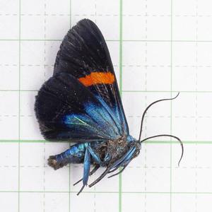 M.stueningi 29 ジャワ島 キラキラな蛾 標本