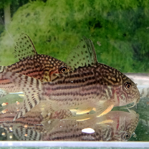 熱帯魚 コリドラス・ステルバイ 1匹 ※雄雌のご指定不可