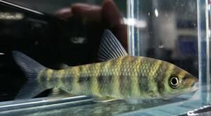 即決 1匹 ブルーリップレポリヌス 約9.5cm※九州地方、沖縄県、北海道には発送出来ません※