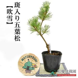 盆栽 希少品! 斑入り五葉松【吹雪】接ぎ木2年苗 ミニ盆栽用苗木 #fubuki-2y