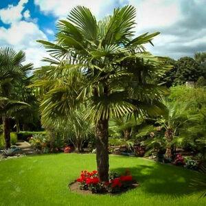 ★ トラキカルプス フォーチュン ヤシの木 ( 1 種子 ) TRACHYCARPUS FORTUNEI PALM TREE★