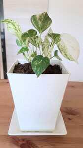 斑入り ポトス 観葉植物 グリーン インテリア