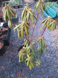 . go in rhododendron *. head ., middle ., flower . attaching,. height 90cm rom and rear (before and after),25cm pot making ..