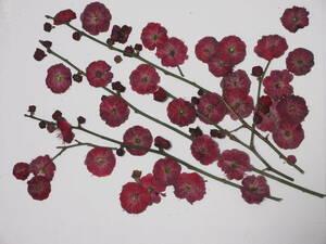 засушенный цветок материалы 3787 красные цветы сливы