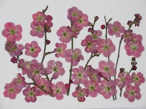 засушенный цветок материалы 3790 слива. цветок