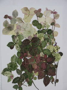 засушенный цветок материалы 3782 трахелоспермум азиатикум