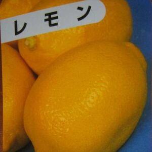 大実レモン苗木