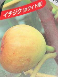 ホワイト無花果(白イチジク)苗木