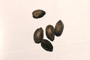 2021/2月入荷種子  CYPHOSTEMMA pachypus キフォステンマ・パキプス 種子5粒 TO05