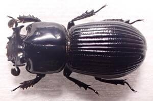 ●●ツノクロツヤムシ1ex. 高知県●●国産 日本産 日本産甲虫 国産甲虫 蟲 昆虫 甲虫 虫 クワガタ クワガタムシ 学術標本 標本