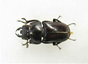 【標本】クサカベコクワガタ(ssp hagiangensis:ベトナム北部YenBai)♂15ミリ+
