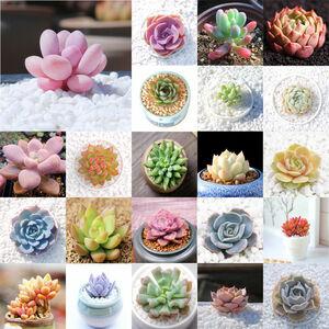 ★15 粒1セット 多肉植物 ミックス リトプス (MIX LITHOPS) リトプス リビングストーンズ 植物★