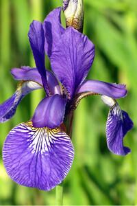 ★アイリスの花 種子 (1 種子 1 セット) IRIS FLOWER SEEDS★